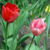 Spring into a New Beginning - spring tulips