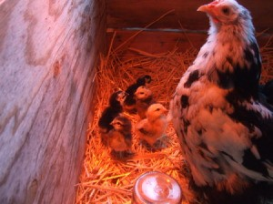 Billina, a Splash Cochin Bantam with several of her chicks