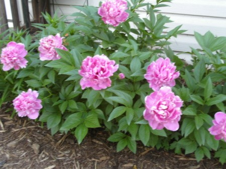 Flowering shrub with beautiful, large, pink flowers
