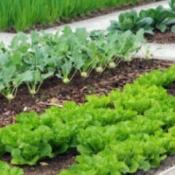 Crops in rows in a garden