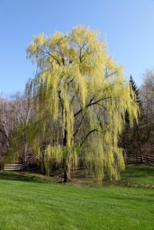 Photo of a large weeping willow tree.