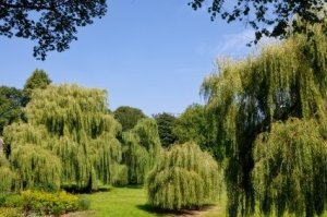 Photo of several weeping willow trees.