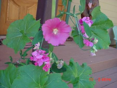 Hollyhocks and Sweet Peas (Magalia, CA)
