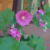 Hollyhocks and Sweet Peas (Magalia, CA)