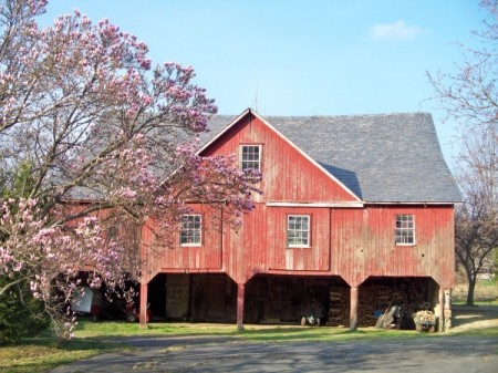 Magnolia in Bloom in front of a red barn. (Danielsville, PA)
