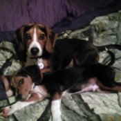 Spike and Sam (Beagles)