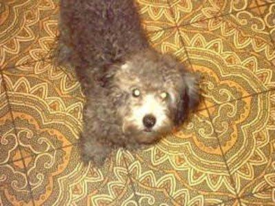 onyx poodle