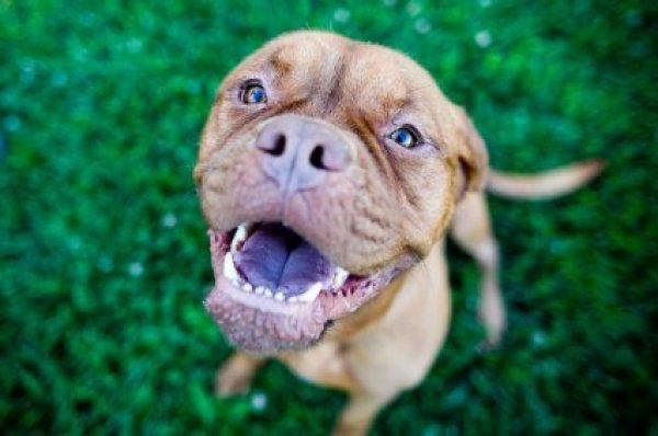 Photo of a pit bull. & Indestructible Dog Toy Ideas | ThriftyFun