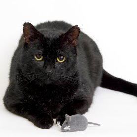 Black cat with a toy mouse.