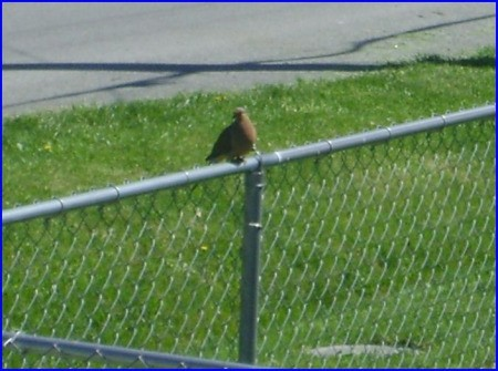 Dove on Fence (Tri-Cities, TN)