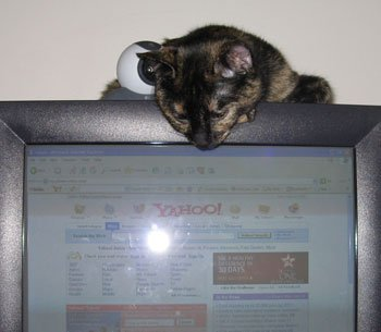 cat on a computer monitor