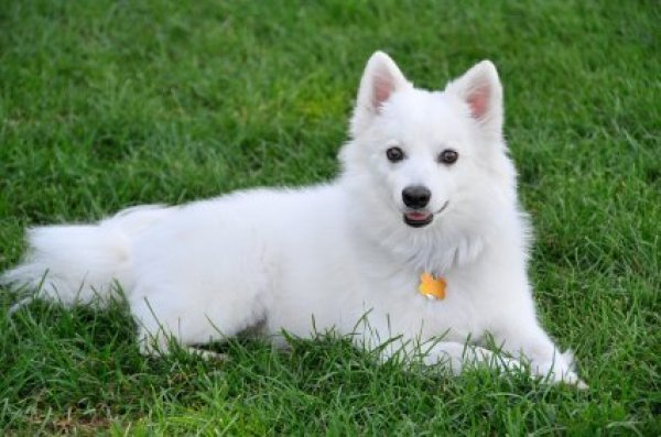 American Eskimo Dog Breed Information And Photos Thriftyfun