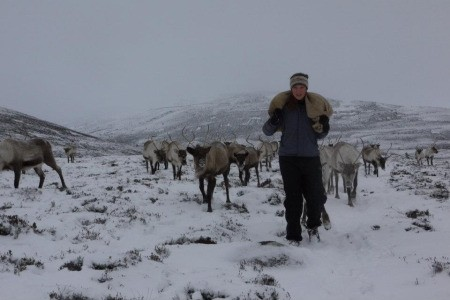Reindeer Herd in snow