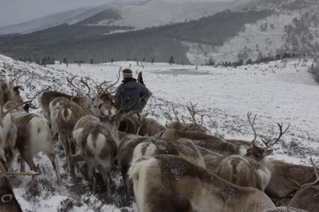 Reindeer Herd in snow