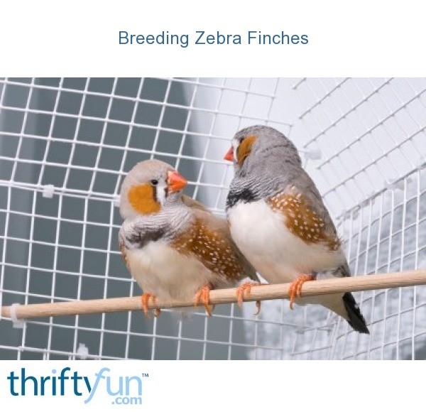 Breeding Zebra Finches | ThriftyFun