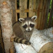 Raccoon on wood pile.