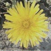 Cheerful yellow dandelion