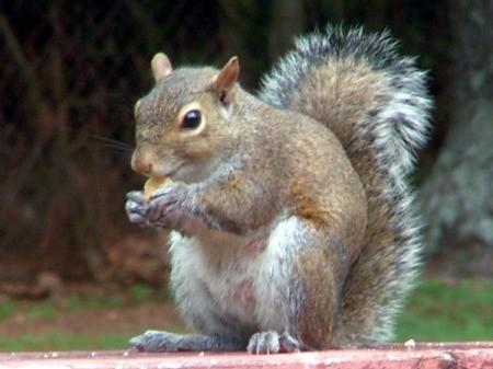 Baby Squirrel sitting on a deck railing.