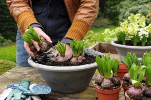 Pre-sprouted bulbs for planting in the garden.