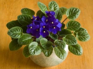 How to Divide Your Houseplants, like this African violet