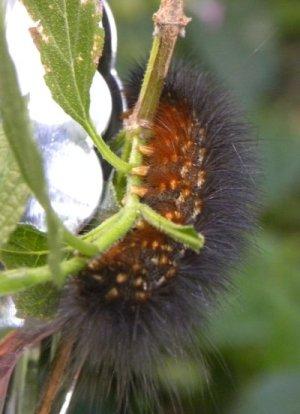 Goldish brown underside of caterpillar on branch.