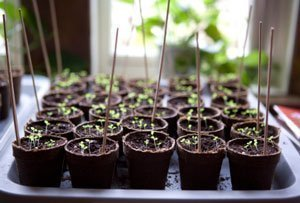 Seed Starts by Window