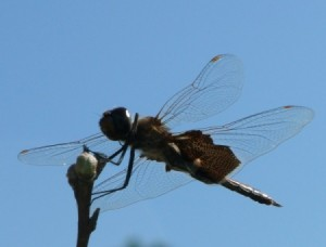A dragonfly hovering over a budding peach tree.