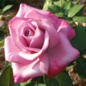 A pink rose just blooming