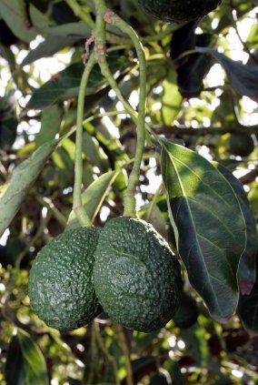 Mature avocado tree for sale melbourne