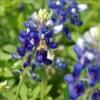 Texas Bluebonnets, spring in Trenton, Texas