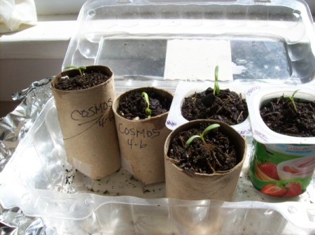 Seeding contains made out of paper towel tubes.