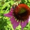 A bumblebee on a purple coneflower blossom