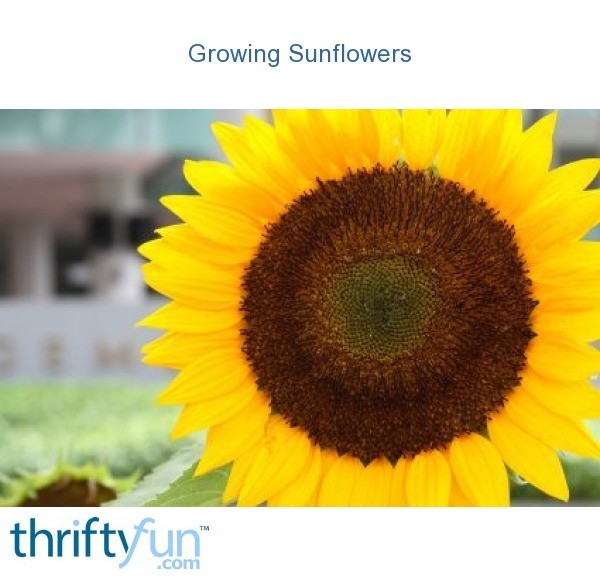 Growing Sunflowers Thriftyfun