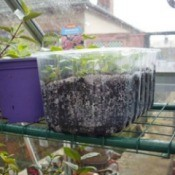 Using recycled plastic containers for seedlings.