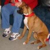 Sadie (Boxer)