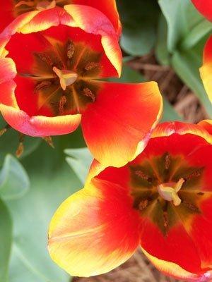 Closeup of tulips
