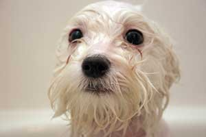 wet white dog