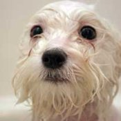 wet white dog