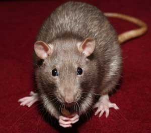 Pet Mice and Rats