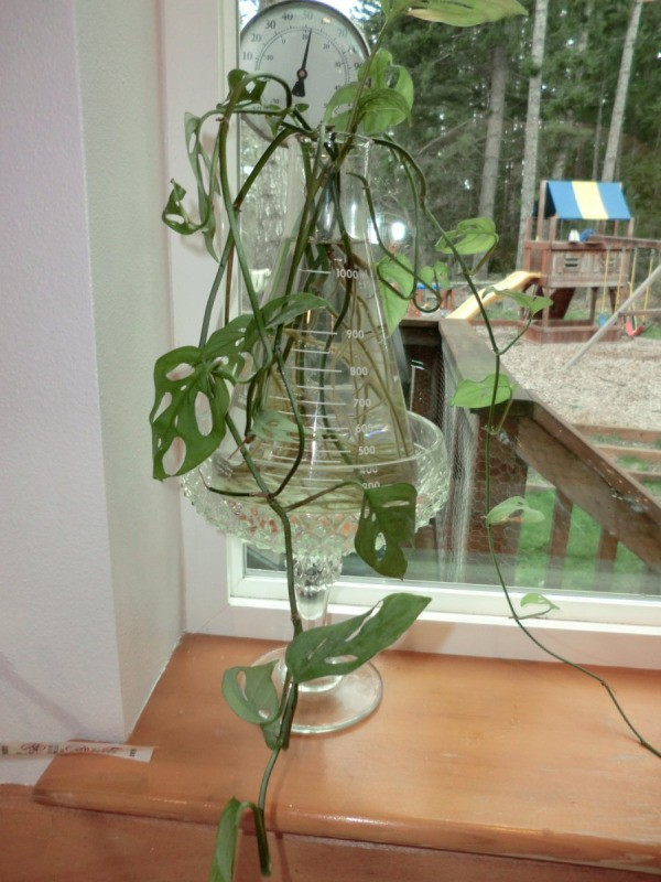 Plant rooting in Erlenmeyer flask