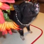 Velvet (Mini Potbelly Pig)