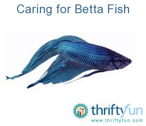 Caring for bettas thriftyfun for Betta fish care guide