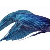 A blue betta or Siamese fighting Fish.