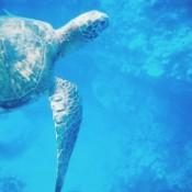 Sea turtle under water in Maui, Hawaii