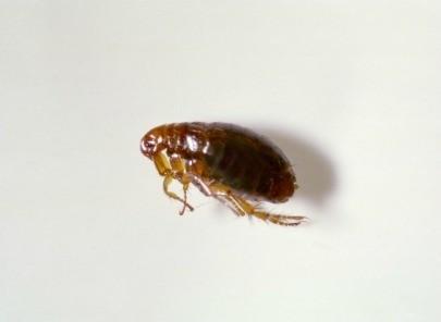 Dryer sheets fleas