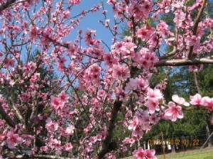 Pink Fruit Tree Blossoms