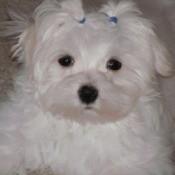 Sophie (Maltese)