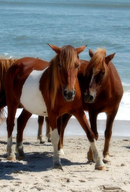 Wild Ponies on Beach