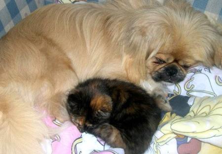 Harley (Peekapoo) and Maggie (Torty) sleeping together