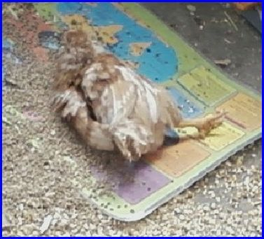A chicken sun bathing.
